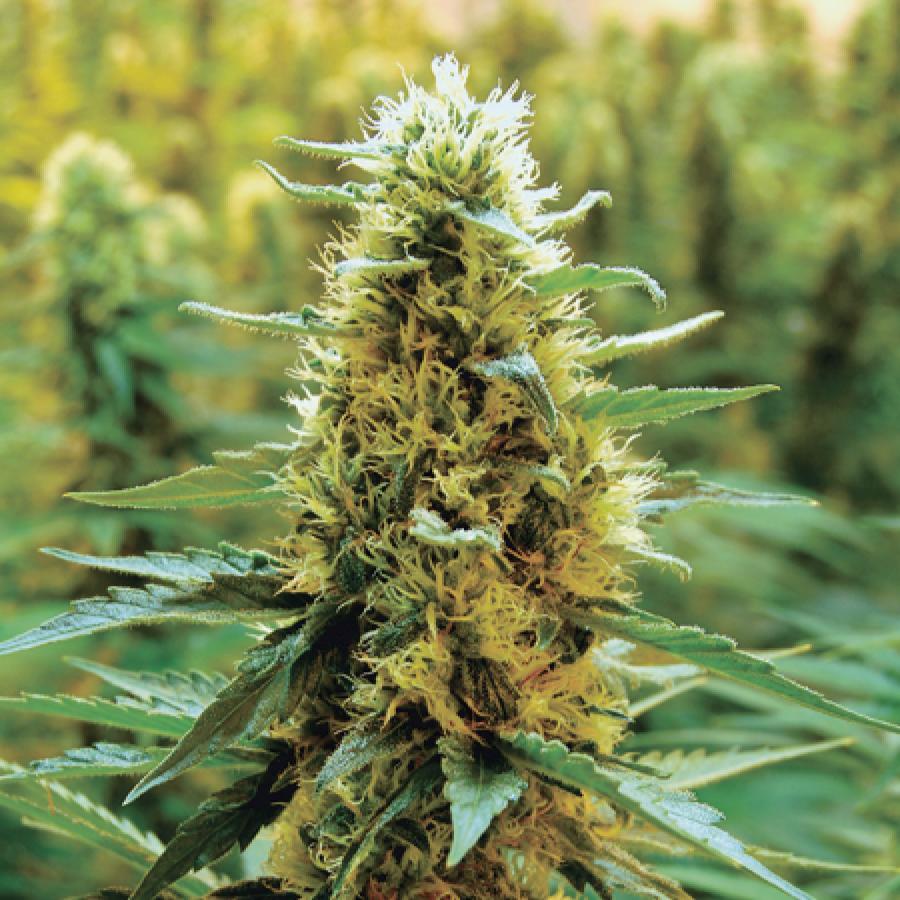 La phase de floraison - Cannabis - Cultiver du Cannabis